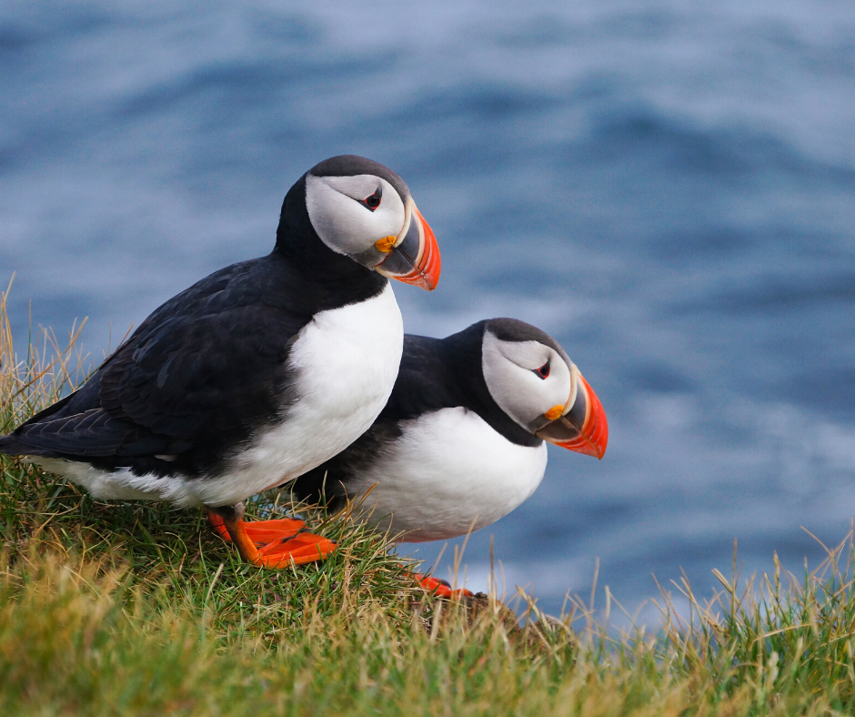 2 Puffins perched on the ground near the water